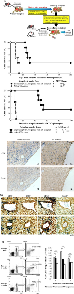 Evidence of generation of regulatory cells in treadmill-exercised CBA allograft recipients. (a) Scheme on adoptive transfer study to confirm the generation of regulatory T cells. (b, c) Cardiac allograft survival after adoptive transfer of whole splenocytes (b) or CD4+ cells (c). (d–h) Results of double immunostaining of cardiac allografts obtained 4 weeks after transplantation from untreated mice and postoperative 1-week treadmill-exercised mice (d–g) and 100 days after adoptive transfer of CD4+ cell from longtime surviving secondary CBA recipients with B6 beating heart (h). Fresh 4-μm-thick graft cryosections were incubated with anti-CD4, CD8, and CD68 monoclonal antibody or anti-Foxp3 polyclonal antibody. In (d–g), the left-hand panels show samples obtained from mice exercising on a treadmill, and the right-hand panels show samples from untreated mice (magnification ×40). In (h), all panels show samples obtained from longtime surviving transplant recipients in CD4+ cell adoptive transfer groups (magnification ×100) (i) CD4, CD25, and Foxp3 expression in splenocytes as determined by flow cytometry 1, 2, and 4 weeks after transplantation. The right-hand graph shows the percentage of CD4+CD25+Foxp3+ cells in the CD4+ cells as determined by flow cytometry. Data are mean ± SD values (n = 5 mice in each group). MST median survival time. *P < 0.05 and ###P < 0.001 for difference between two groups. NS not significant.