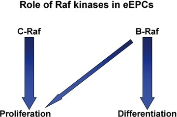 B-Raf and C-Raf have partially overlapping, but distinct roles in eEPCs. The schematic model illustrates the different roles of B- and C-Raf in eEPCs. It appears that B-Raf is primarily involved in cAMP-induced differentiation with a modest effect on eEPC growth. In contrast, C-Raf is a strong inducer of proliferation, but has no role in the cAMP-mediated differentiation process.