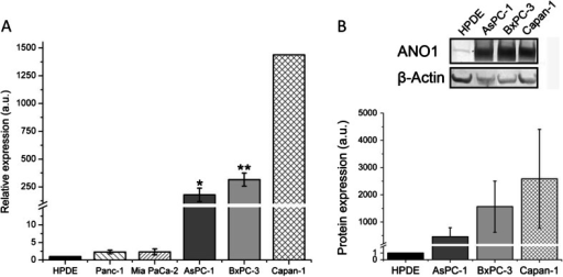 ANO1 is upregulated at the mRNA and protein levels in all PDAC cell lines tested. a Mean ANO1 expressions measured by RT-qPCR in five PDAC cell lines (Panc-1, Mia PaCa-2, BxPC-3, AsPC-1, and Capan-1) compared to the immortalized human pancreatic ductal cell line (HPDE). Data for Capan-1 was taken from [45] and recalculated relative to the value in the HPDE cell line. b Western blot analysis in three pancreatic cancer cell lines and HPDE with β-actin as a loading control. Mean ± s.e.m. of n = 4–5 individual experiments