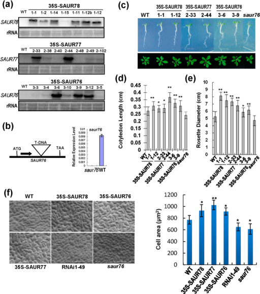 "Overexpressions of SAUR76-78 promote seedling growth in transgenic Arabidopsis plants.(a) SAUR76-78 expression in SAUR-overexpressing lines by Northern analysis. The rRNA was stained as a loading control. WT: Col-0. (b) Identification of saur76 T-DNA insertion mutant. Solid black box represents the only exon and the position of T-DNA insertion is indicated by triangle. Thesaur76 is a knockout mutant. Expression of SAUR76 relative to Actin is measured by quantitative PCR. (c) Comparison of five-day-old light-grown seedlings and rosettes of 30-day-old light-grown plants for various genotypes. (d) Cotyledon length of seedlings in upper panel of (c). Bars indicate SD (n = 40). Rosette diameter of plants in lower panel of (c). Bars indicate SD (n = 20). (e) Scanning electron micrograph of leaf epidermal cells from 20-day-old plants and comparison of leaf epidermal cell area. RNAi1-49: an RNAi line of SAUR78. nP::SAUR76/saur76: saur76 complemented with SAUR76 genomic sequence driven by native promoter. Right panel: bars indicate SD (n ≥ 20). For (d), (e) and (f), ""*"" and ""**"" indicate significant difference compared with WT at P < 0.05 and P < 0.01, respectively."