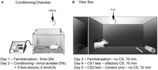 Schematic drawings representing the conditioning chamber (A) and the odor box (B) used in the olfactory fear conditioning protocol. Rats were placed inside a stainless steel box located under a fume hood with lighting conditions of 420 lux (A) on day 1 (5 min) and day 2 (conditioning). A filter paper saturated with amyl acetate (5%, 250 μl) was used as the olfactory CS. Five electrical foot shocks (0.5 mA, 2 s, 40 s inter-trial interval) were used as the US. The retention of the CS-US association was tested in a Plexiglass box (B) that was also located under a fume hood with lighting conditions of 4 lux. The Plexiglass box consisted of a roof-enclosed compartment (left side) and an open (unroofed) compartment (right side). Retention was tested in 10 min sessions on the following three consecutive days (day 3, no-odor, habituation; day 4, olfactory CS exposure test; day 5, associated context, no-odor). The odor source was positioned in the opposite side of the enclosed compartment. The parameters analyzed included the percentage of time spent in the following behaviors: approaching the CS, hiding in the enclosed compartment and stretching out from the enclosed compartment toward the open compartment (head-out). The protocol was based on Dielenberg and McGregor (1999) and Kroon and Carobrez (2009).