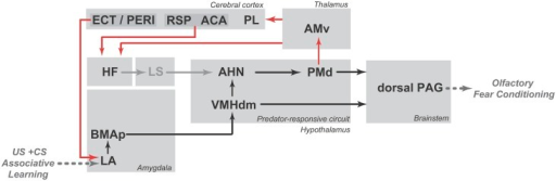 Schematic diagram showing the putative circuit involved in the expression of olfactory fear conditioning to a neutral odor that was previously paired with footshock (shown in black lines) as well as the PMd–AMv path and the cortical-hippocampal-amygdalar circuit that are putatively involved in second-order contextual conditioning (shown in red lines). ACA, anterior cingulate area; AHN, anterior hypothalamic nucleus; AMv, anteromedial thalamic nucleus, ventral part; BMAp, basomedial amygdalar nucleus, posterior part; ECT, ectorhinal area; HF, hippocampal formation; LA, lateral amygdalar nucleus; LS, lateral septum; PAG, periaqueductal gray; PERI, perirhinal area; PL, prelimbic area; PMd, dorsal premammillary nucleus; RSP, retrosplenial area; VMHdm, ventromedial hypothalamic nucleus, dorsomedial part. See text for discussion.