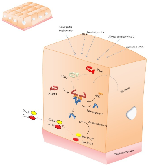 Schematic representations of simple cuboidal epithelial cells lining the urogenital tract in which different inflammasomes have been described to be activated by independent instigators triggering the release of inflammasome readouts.