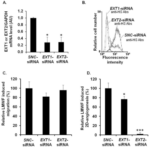 Assessment of EXT involvement in biological effects of LMWF in HUVECs. HUVECs were transfected with EXT1-siRNA or EXT2-siRNA or with SNC-siRNA control. (A) EXT1 or EXT2 mRNA levels were determined in EXT1-siRNA- or EXT2-siRNA- or SNC-siRNA-transfected control cell by real-time RT PCR. EXT1- or EXT2 mRNA level normalized to GAPDH mRNA level in SNC-siRNA-transfected control cells was arbitrarily set to 1; (B) The binding of 10E4 anti-HS antibodies to EXT2- or EXT1-siRNA transfected cells was compared to that of SNC-siRNA-transfected cells; (C) Migration was assayed in cells treated with or without 10 µg/mL LMWF; (D) 2D-angiogenesis was assayed in cells treated with or without 10 µg/mL LMWF. The difference in the capillary network length between LMWF-treated and untreated cells in each RNA interference condition (EXT1 or EXT2 silencing) was compared to that in SNC-siRNA-transfected cells. Control LMWF induction was arbitrary set at 100% for SNC-siRNA-transfected cells. * p < 0.05, *** p < 0.0005 versus SNC-siRNA-transfected control cells. A.U.: arbitrary unit.