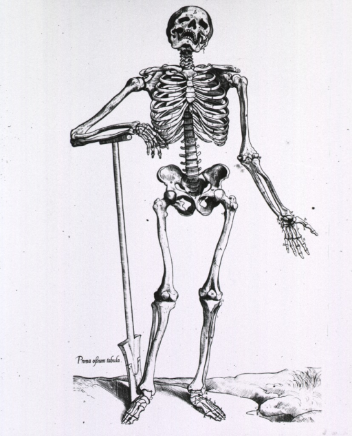 <p>Full length frontal view, standing, of a human skeleton; right arm resting on handle of a spade.</p>