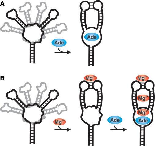 Cartoon Of The Folding Pathway For The Adenine-sensing
