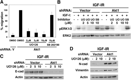 Inhibition of ERK signaling inhibits migration of Akt1 down-regulated cells. (A) Migration of IGF-IR cells expressing Akt1 shRNA or empty vector (V) control treated with DMSO, 2–10 μM UO126, or 10 μM SB 202190 was assessed using transwell migration assay. Cells were starved in the absence of EGF. Migration was assessed after 16–20 h in media containing 2% horse serum, 100 ng/ml IGF-I, and DMSO or inhibitor. The histogram displays the mean percentage migration relative to Akt1 down-regulated IGF-IR cells treated with DMSO within the same experiment. The mean values were derived from three independent experiments. Error bars represent means ± SD. (B) Akt1 down-regulated IGF-IR cells were grown in 2% serum, 100 ng/ml IGF-I, and DMSO, 2–10 μM UO126, or SB 202190 for 72 h, with the inhibitor replaced after 48 h. Lysates were immunoblotted as indicated. (C) IGF-IR cells expressing Akt1 or empty vector shRNA were cultured in 2% serum, IGF-I, and DMSO or 2–10 μM UO126 for 72 h, lysed in NP-40 lysis buffer, and immunoblotted with antibodies against E-cadherin. (D) IGF-IR cells expressing Akt1 or empty vector shRNA and cultured in 2% serum, IGF-I, and DMSO or 2–10 μM UO126 for 72 h were lysed in RIPA lysis buffer and immunoblotted with the indicated antibodies.