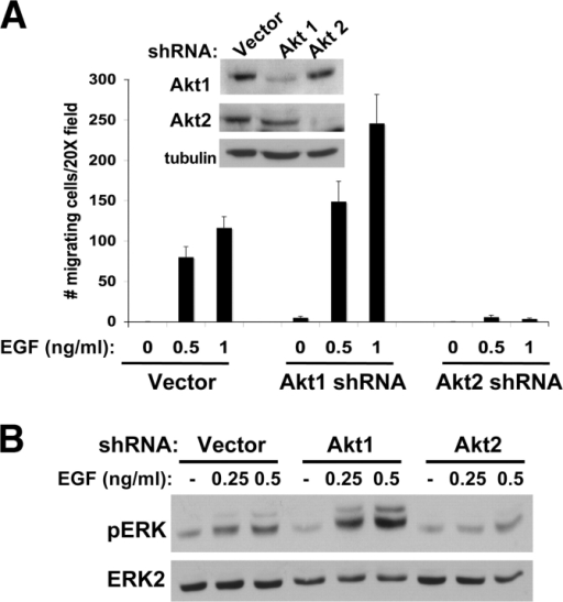 Down-regulation of Akt1 enhances EGF-stimulated migration and ERK activation. (A) MCF-10A cells overexpressing empty vector or Akt1 or -2 shRNA vectors were generated. Isoform-specific down-regulation was confirmed by Western analysis and migration in response to EGF stimulation was assessed. Before plating in transwell assays, cells were starved overnight in the absence of EGF. Cells were stimulated with EGF at the indicated concentrations and migration was assessed. The histogram displays a representative experiment with mean values obtained by counting 10 independent fields. Error bars represent means ± SD. (B) MCF-10A cells overexpressing empty vector control or Akt1 or -2 shRNA vectors were starved in the absence of EGF. Cells were stimulated with the indicated concentrations of EGF, lysed, and immunoblotted with the indicated antibodies.