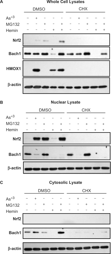 Differential regulation of NRF2 and BACH1 activation. Immunoblots illustrating differential expression of NRF2 and BACH1 protein following treatment of HaCaT cells with 25 μM arsenite, 5 μM MG132, 25 μM hemin or MG132 + hemin combined. HaCaT cells were treated as indicated for 3 h or co-treated with 5 μM cycloheximide (CHX) following a 30-min CHX pretreatment. (A) Total cellular proteins (20 μg) from whole cell lysates. (B) Proteins extracts (10 μg) from nuclear lysates. (C) Proteins extracts (20 μg) from cytosolic lysates. Blots are representative of 2–3 separate experiments.