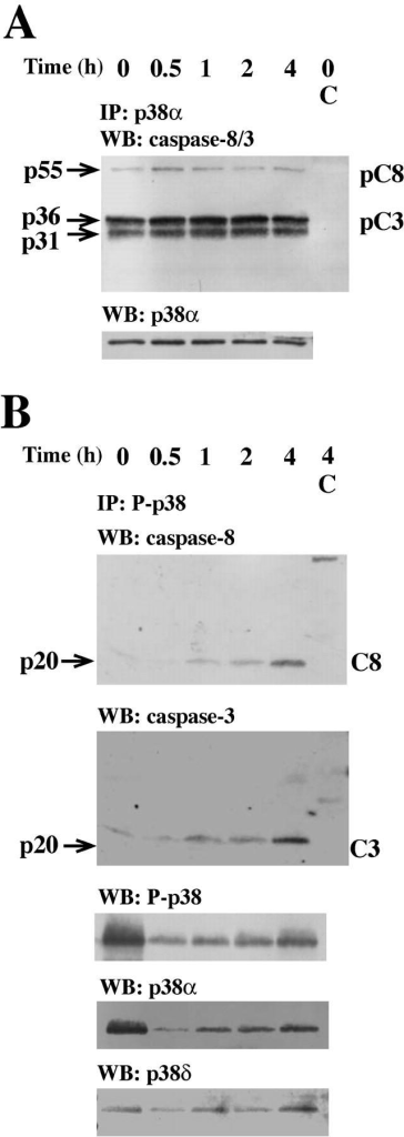Caspase-8 and caspase-3 are coimmunoprecipitated with p38-MAPK. Neutrophils were incubated with anti-Fas Ab for the indicated times and lysed. (A) Samples were immunoprecipitated with an anti–p38-MAPKα or an isotype-matched control (C) antibody and subsequently assessed by Western blotting. The blots were either analyzed with a mixture of two antibodies respectively directed against caspase-8 (both the proform, pC8, and the active form, C8) and caspase-3 (both the proform, pC3, and the active form, C3), sequentially stripped, and reprobed with antibodies against p38-MAPKα (p38α). (B) Samples were immunoprecipitated with an anti-phospho–p38-MAPK or an isotype-matched control (C) antibody and subsequently assessed by Western blotting. The blots were sequentially analyzed with the antibodies against caspase-8, caspase-3, phospho–p38-MAPK (P-p38), p38-MAPKα (p38α), and p38-MAPKδ (p38δ). The blots in A and B are representative of at least seven separate experiments.