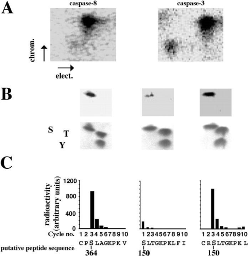 Identification of phosphorylation sites on caspase-8 and caspase-3. (A) Active phosphorylated p38-MAPK immunoprecipitates from freshly isolated neutrophils were incubated with [γ-32P]ATP and recombinant procaspase-8 or procaspase-3. The proteins were separated by SDS–gel electrophoresis, and the separated proteins were digested in situ with trypsin. The obtained phosphopeptides were separated on cellulose TLC glass plates (elect.), followed by ascending chromatography (chrom.). The indicated electrophoresis direction is from the anode to the cathode. The plates were analyzed in a PhosphorImager as well as exposed to an X-ray film. (B) The phosphopeptides from caspase-8 or caspase-3 were eluted from the TLC plates and subjected to two-dimensional phosphoamino acid analysis. The locations of the phosphoamino acids (top) were compared with that of phosphoamino acid markers (bottom) as follows: serine (S), threonine (T), and tyrosine (Y). The phosphopeptides obtained from A were subjected to amino acid sequencing (C), and the radioactivity released in each cycle was measured by spotting onto TLC plates and exposure on a Fuji image analyzer. The phosphorylated serine residues, 364 for caspase-8 (C) and 150 for caspase-3 (C), are indicated in the sequence of the putative fragment from caspase-8 and caspase-3, respectively. The illustrated phosphomapping is representative of three experiments.
