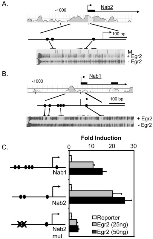 Egr2 activates the Nab1 and Nab2 promoters. A) The plot shows percent identity of the human and mouse Nab2 loci upstream of the first exon. DNase I footprinting analysis of a 1000 bp fragment of the mouse Nab2 promoter in the presence of recombinant Egr2 protein revealed two footprinted regions (solid line) with some weaker protections (dotted lines). The footprinted regions correspond to three of the four previously identified conserved sites [filled circles, 22] that conform to the Egr2 consensus binding site. There was no apparent footprint over putative site #4 identified in previous sequence analysis of the Nab2 promoter [22] M = marker lane. B) A similar analysis of the mouse Nab1 promoter confirmed binding of Egr2 to the six previously identified conserved binding sites in the mouse Nab1 promoter [filled circles, 22]. C) JEG-3 cells were transfected with a luciferase reporter plasmid containing either the Nab1 or Nab2 promoter, and the indicated amounts of an Egr2 expression construct. The mutant Nab2 promoter contains mutations in the two upstream Egr2 binding sites. Egr2 binding sites are indicated by filled circles. The y-axis shows the fold activation normalized to the activity of the reporter alone. Means and standard deviations of three separate transfections are shown. Activation of both Nab1 and Nab2 promoters by 25 ng Egr2 (compared to control) was statistically significant (P =< 0.002).