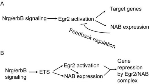Model for regulation of NAB expression. The figure indicates a model for regulation of NAB proteins during myelination, based on the requirement of NAB proteins for peripheral nerve myelination. In the first model (A), neuregulin/erbB signaling (and/or other axon-dependent signals) trigger expression of Egr2/Krox20 in myelinating Schwann cells, and the induction of NAB proteins by binding of Egr2/Krox20 acts as a negative feedback control to limit activation of specific target genes that are important for myelination. B) The second model suggests that co-induction of Egr2 and NAB proteins is mediated by neuregulin-activated expression of ETS factors. Activation of ETS factors induces sufficient amounts of NAB proteins so that an Egr2/NAB complex can actively repress specific target genes. It is noted that these two models are not necessarily mutually exclusive and could apply to different target genes in different tissues.