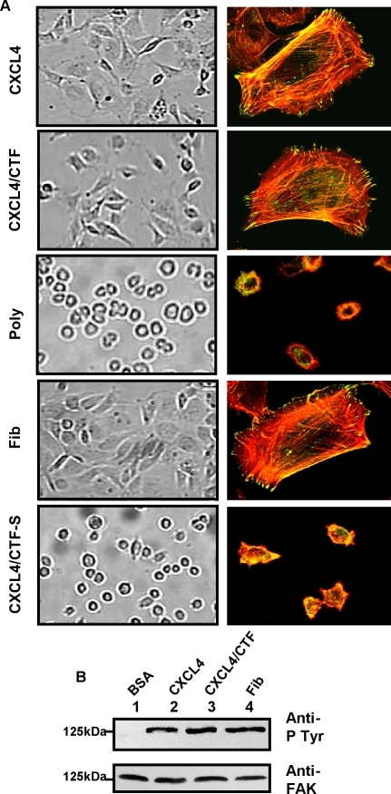 Immobilized CXCL4 or CXCL4/CTF promotes human umbilical vein endothelial cells (HUVECs) spreading, focal adhesion and stress fiber formation.(A) Analysis of spreading, focal adhesion and stress fibers. HUVECs were plated for 4h on coverslips that had been coated with (25 µg/ml) CXCL4, (25 µg/ml) CXCL4/CTF, (100 µg/ml) fibrinogen, (25 µg/ml), CXCL4/CTF-S and (100 µg/ml) poly-D-lysine. After washing, the cells are fixed. The degree of cell spreading is seen from the phase contrast micrographs (left side) Then the cells were permeabilized and stained to visualize focal adhesion (vinculin staining, green), and actin stress fibers (Rhodamin-Phalloidin staining, red) by confocal microscopy (right side). (B) Analysis of tyrosine phosphorylation of FAK. Effect of HUVEC cell adhesion to CXCL4 or CXCL4/CTF on tyrosine phosphorylation of FAK. HUVECs were maintained in suspension for 60 min (BSA, lane 1) or allowed to attach to integrins ligand (fibrinogen, lane 4) or CXCL4 (lane 2) or CXCL4/CTF (lane 3). Cells lysates containing equal amounts of protein were immunoprecipitated with anti-FAK antibody. One half of immunoprecipitates was subjected to immunoblotting with anti-phosphotyrosine mAbs, 4G10, and PY20, and the other half was probed with mAb anti-FAK.