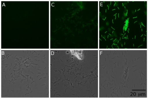 Demonstration of Gfp expression levels in F. columnare strain C#2 containing plasmids pAS29 (A and B) pAS36 (C and D) and pAS43 (E and F) using epifluorescence (A, C and E) and transillumination/phase contrast (B, D and F) microscopy. The same field is shown for epifluorescence and phase contrast micrographs for each strain. Exposure was varied in the pictures using transillumination to optimize each image, but for comparative purposes the excitation energy and image exposure times were held constant in the three epifluorescence images. All six panels are drawn to the same scale.