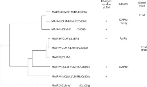 Molecular phylogenetic tree of MAIR gene family. Phylogenetic analysis of the MAIR family genes was performed by using the UPGMA method of GENETYX-MAC software (Software develoment, Tokyo, Japan). MAIR-II, MAIR-III, MAIR-VII and MAIR-VIII contained a charged amino acid in the transmembrane portion, and some of them associate with ITAM-bearing adaptor. MAIR-I and MAIR-V contains ITIM in the cytoplasmic portion.
