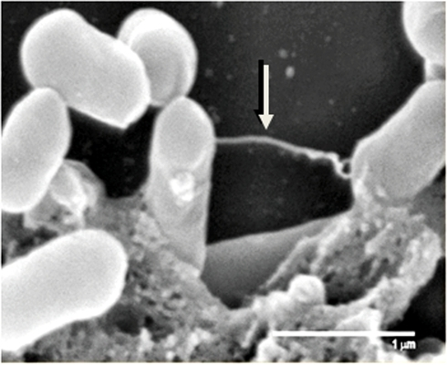 Scanning electron microscope image of listeria and extracellular material.L. monocytogenes strain 10403S was embedded within the extracellular material. The arrow is pointing to a strand of extracellular material between the bacteria. Scale bar represents 1 µm.