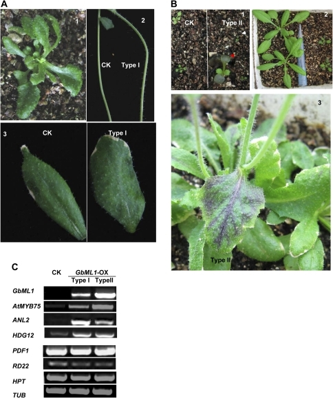 Phenotypes of overexpressing GbML1 in Arabidopsis plants. (A) Developmental phenotypes of Type I plants. 1, 25-d-old plant. 2, More trichomes on stems. 3, More trichomes on cauline leaves. (B) Developmental phenotypes of Type II plants. 1, Type II plants accumulate more anthocyanin on cotyledons. 2–4, Anthocyanin accumulation in rosette leaves and cauline leaves. (C) Expression of GbML1 and HPT transgenes and AtMYB75, ANL2, HDG12, PDF1, and RD22 endogenous genes are also shown. Tubulin (Tub) is used as a control for normalization.