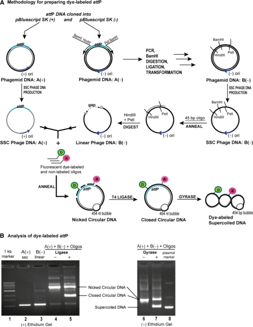 Preparing Supercoiled Dna Labeled With Fluorescent Dyes Open I
