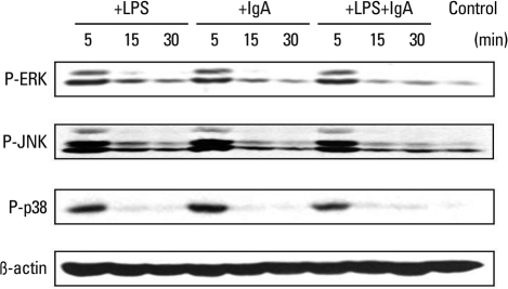 LPS, IgA, and combined LPS and IgA treatment induced rapid phosphorylation of ERK1/2, JNK, and p38 MAPKs at 5 minutes. LPS, lipopolysaccharide; MAPKS, MAP kinases.