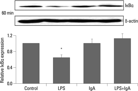 Iκ-Bα degradation was observed at 60 minutes in LPS-treated MMC, but not in IgA- and combined LPS and IgA-treated MMC. *p<0.05 vs. control. LPS, lipopolysaccharide; MMC, mouse mesangial cells.
