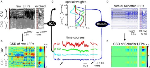 Application of ICA to disentangle pathway-specific hippocampal LFPs. (A) Ongoing raw LFPs across the CA1 and CA3 fields (black and gray traces, respectively). The dashed red line marks the time of a subthreshold stimulus applied to the ipsilateral CA3. The evoked field potential is amplified in the right inset. (B) CSD of the evoked potential (right) yields the standard distribution of inward (blue) and outward (yellow-red) currents across the CA1 region, while that of ongoing LFPs (left) renders a complex poorly informative mixture. (C) ICA of LFPs provides four main LFP generators, each defined by the curve of spatial weights (top panel) and a time course (bottom traces). Note that only the Schaffer generator (G4) captures the Schaffer-evoked activity (arrows). (D) Reconstructed (virtual) Schaffer LFPs for the raw LFP segment and evoked potential analyzed. The pronounced activity at electrodes 5–10 in the second half of the segment corresponds to a complex of sharp waves. (E) CSD of the virtual Schaffer LFPs provides precise spatiotemporal maps of inward/outward currents for unique spatially coherent membrane events. Note how clean the map of currents is after the concomitant activity elicited by other inputs is eliminated. (Modified from Fernández-Ruiz et al., 2012a).