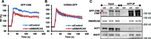 SMARCA5 interacts with CSB and regulates its recruitment. (A, B) Graphs of the normalized fluorescence intensity indicating local UV-C-laser-induced DNA damage recruitment of (A) GFP-CSB (P < 0.01 compared to control) and (B) UVSSA-GFP (P = 0.513 compared to control) in cells siRNA depleted for SMARCA5. n > 10 cells, error bars denote standard error of the mean. RF denotes 'relative fluorescence'. (C) GFP immunoprecipitation of GFP-CSB in MNase-treated nuclear extracts shows that SMARCA5, ACF1 and WSTF co-purify with CSB, both in unchallenged conditions (−UV) and 20 min after UV irradiation (+UV). Ctrl is control. All results were confirmed using independent, duplicate experiments.