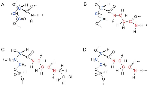 Poly(β-d-malamide) as an information polymer. (A) Malamide in a β-polyester strand with backbone carbon atoms shown in blue and amide side chain double hydrogen bonding shown by arrows. The 2', 3', and 4' carbon atoms of malamide are labeled and highlighted in blue; (B) Proposed extended side chain of malamide with β-alaninamide in a polyester strand. Carbon and nitrogen atoms in the extended side chain are highlighted in red. Hydrogen bonding is in the same direction relative to the backbone as that shown in A; (C) Structure of the phosphopantetheine component of CoA; (D) Structure of a proposed intermediate in nucleic acid evolution with a phosphodiester-linked backbone and extended malamide side chain, showing the similarities to phosphopantetheine. Two methyl groups in phosphopantetheine are not present in the proposed nucleic acid predecessor. * labels the chiral carbon atom.