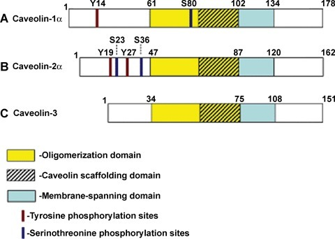 Phosphorylation map of the caveolin family of proteins. Caveolins are highly homologous and conserved proteins. All isoforms contain membrane-spanning, oligomerization and caveolin-scaffolding domains. (A) Caveolin-1α isoform consists of 178 amino acids with phosphorylation sites at tyrosine 14 and serine 80. Caveolin-1β isoform lacks the first 31 amino acids, and thus it does not contain the tyrosine phosphorylation site. Residues 75–158 (part of scaffolding domain, membrane- spanning domain, and most of the C-terminus) are involved in binding Dynamin 2. Scaffolding and membrane-spanning domains of caveolin-1 also participate in homo-oligomerization and formation of heteroligomers with caveolin-2. (B) Caveolin-2 is ∼50% homologues to caveolin-1 and caveolin-2α isoform contains 162 amino acids with phosphorylation sites at tyrosines 19 and 27, and serines 23 and 36. Caveolin-2β isoform, produced by alternative splicing of mRNA, is truncated by 13 N-terminal amino acids, while no information is yet available about the phosphorylation of the caveolin-2α isoform. (C) Caveolin-3 is a muscle-specific isoform, which contains 151 amino acids and is very homologous to caveolin-1. No phosphorylation sites have been demonstrated for caveolin-3 to date.