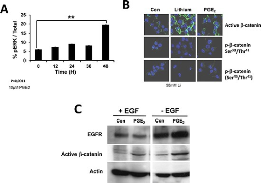 Activation of EGFR receptor monitored by ERK and β-catenin activationEGFR signaling pathway leads to the phosphorylation of ERK (pERK) and regulates β-catenin localization and stability (active β-catenin). We thus determine the percentage of pERK after incubation of primary cultures with PGE2(A) and the intracellular localization of active b-catenin, using Lithium as a positive control (B). We also analyzed the effect of PGE2 on EGFR and activeβ-catenin in the presence or in the absence of EGF (C).