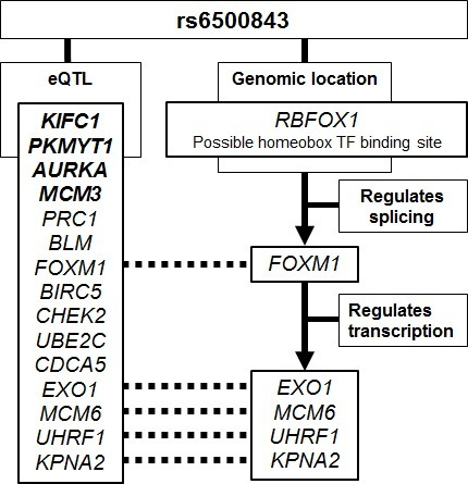Schematic summary of the putative evidence connecting the rs6500843 SNP to the trans-eQTL SNPs associated with this locusThe eQTL genes marked in bold are associated with the rs6500843 locus at a statistically significant level after conservative Bonferroni correction; the remaining genes listed here are associated with SNP genotype at p < 10-5, and also belong to the Gene Ontology group GO:0007049 (cell cycle) which was most strongly enriched in the DAVID analysis. RBFOX1 and FOXM1 target gene identification is based on previously published data [13, 14].