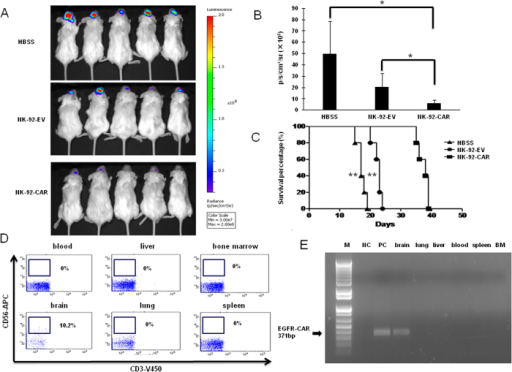 NK-92-EGFR-CAR cells suppress in vivo growth of orthotopic human GSCs, prolong the survival of glioma-bearing mice, and localize in the brain without migrating to other organ and tissues.(A) Brain bioluminescence imaging of mice bearing GB30 tumors. NSG mice were inoculated with luciferase-expressing GB30 cells via stereotaxic injection (day 0). Seven days after inoculation, mice were intracranially infused once with empty vector-transduced NK-92 cells (NK-92-EV), EGFR-CAR- transduced NK-92 cells (NK-92-EGFR-CAR) or Hank's buffered salt solution (HBSS; negative control). (B) Quantification summary of units of photons per second per mouse from (A). * indicates p < 0.05. (C) GB30-bearing mice treated with NK-92-EGFR-CAR cells showed significantly increased overall survival compared to the mice treated with NK-92-EV cells or HBSS (** p < 0.01), as determined by Kaplan-Meier survival curves (n = 5 for each group). (D) Determination of presence of CD56+CD3- human EGFR-CAR NK-92 cells by flow cytometry in liver, lung, blood, spleen, bone marrow (BM), and brain 3 days after intracranial injection of the CAR NK cells into brain of GB30-bearing mice. (E) Determination of EGFR-CAR expression by RT-PCR in liver, lung, blood, spleen, bone marrow (BM), and brain 3 days after intracranial injection of the CAR NK cells into brain of GB30-bearing mice. NC = negative control (no DNA template was added); PC = positive control, EGFR-CAR NK-92 cells. *p < 0.05, **p < 0.01.