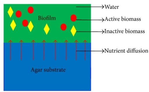 The simplified schematic of biofilm model on the agar substrate. A biofilm is assumed to be made up of active biomass, inactive biomass, and water. The red circle represents active biomass, the yellow rhombus represents inactive biomass, and the green region is water. Nutrient diffuses from agar substrate to biofilm; red arrows indicate the diffusion direction.