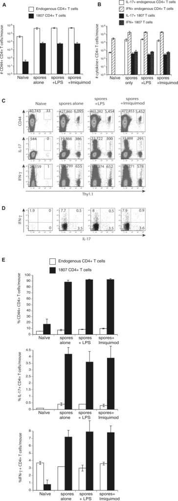 TLR costimulation does not augment T‐cell activation, expansion, and differentiation. Wild‐type C57BL6 mice received an adoptive transfer of 105 CD4+ purified, naïve 1807 Tg cells and were infected with 2 × 106 live F. pedrosoi spores or not. Transferred 1807 and endogenous CD4+ T cells were harvested from the popliteal LN and the (A) number and (E) frequencies of activated (CD44+), and (B) number of IL‐17‐ and IFN‐γ‐producing T cells was assessed at day 7 postinjection by flow cytometry. (C) Dot plots show concatenated samples of 4–6 mice/group. The numbers indicate the mean ± SEM of activated (CD44hi) and cytokine producing 1807 Tg (Thy1.1+) cells and endogenous CD4+ T cells. (D and E) The frequencies of cytokine‐producing 1807 cells were assessed by flow cytometry. Data are expressed as the mean ± SEM (n = 4–6 mice/group). T‐cell numbers from LPS or Imiquimod‐treated, infected mice versus nontreated infected mice were not statistically different using the Wilcoxon rank test for nonparametric data. Data are from single experiments representative of three independent experiments.