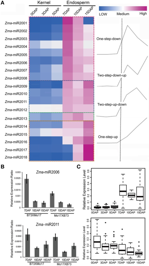 Developmentally dependent expression patterns of newly identified maize miRNAs negatively correlated with their targets expression. (A) 18 novel miRNAs were identified in 7-, 10-, and 15-DAP maize endosperms, which can be clustered into four groups according to their expression patterns, namely, one-step-down, one-step-up, two-step-down-up, and two-step-up-down. (B) Quantitative RT-PCR results of Zma-miR2006 and Zma-miR2011. Zma-miR2006 showed gradually decreased expression patterns in 7-, 10-, and 15-DAP endosperms in both reciprocal crosses, whereas Zma-miR2011 reached its lowest expression level in 10-DAP endosperm. (C) Boxplot of expression levels of novel miRNA and their putative targets in kernels and endosperms. MiRNA shows higher abundance in endosperm stages compared to kernel stages; in contrast, their targets exhibited lower expression levels in endosperm stages than in kernel stages, which is consistent with the negative correlation between miRNAs and their targets.
