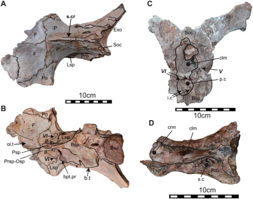 Other braincases.The articulated braincase (NRRU-A2035) in dorsal (A) and ventral views (B), the caudal portion of braincase (NRRU3001-179) in rostral view (C), and the dorsal part of braincase (NRRU3001-65) in ventral view (D). Abbreviations; Bso, basioccipital; bpt.pr, basipterygoid process; Bsp, basisphenoid; b.t, basal tubera; clm, cavity for the cerebellum; Exo, exoccipital; F, frontal; i.c, groove for the inter carotid; Lsp, laterosphenoid; Op, opisthostic; Osp, orbitosphenoid; P, parietal; p.c, pituitary cavity; Pro, paroccipital; prc.pr, precotyloid process; Po, postorbital; Pr, prootic; Prsph, presphenoid; q.c, quadrate cotylus; q.c, quadrate cotylus; s.cr, sagittal crest; Sq, squamosal. Italic Roman number indicates cranial nerves. Scale bars equal 10 cm.