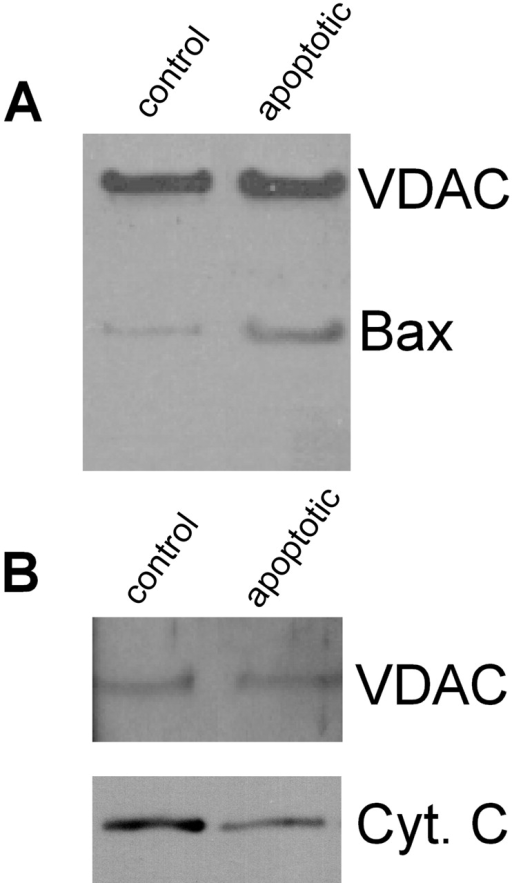 Proteoliposomes enriched with Bax fail to retain cytochrome c. (A) Immunoblots show Bax (but not VDAC) levels are higher (5–10-fold) in outer membranes purified from mitochondria isolated from FL5.12 cells 12 h after IL-3 withdrawal (i.e., apoptotic cells) than from normal cells (i.e., control). Silver-stained gels and Western blots with antibodies against cytochrome oxidase subunit IV indicate equivalent content of overall protein and low contamination by inner membranes for both preparations (data not shown). (B) Immunoblots show that less cytochrome c is present in salt-washed proteoliposomes made from mitochondrial outer membranes of apoptotic cells than of normal cells (control).