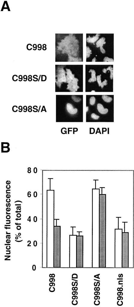 Localization of the COOH-terminal domain of AHNAK fused to EGFP is subject to regulation by cell density only when the PKB phosphorylation site is intact. (A) The indicated EGFP fusion constructs were transfected into dense HeLa cultures, plated for 2 d, and fixed 24 h later. (B) Quantitative analysis of the subcellular distribution of transfected COOH terminus of AHNAK in dense versus sparse HeLa cells. Experiments were performed at least three times with each construct and at least 200 fluorescent cells were counted per each experiment. White bars represent data obtained with cells plated at low density; gray bars represent data obtained with cells plated at high density. Error is expressed as a standard deviation of the mean values.