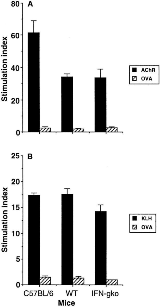 (A) Effect of IFN-γ gene disruption on in vitro lymphocyte  proliferation in response to AChR (10 μg/ml) and control antigen  (OVA; 20 μg/ml) on day 5 after immunization with 20 μg AChR in  CFA. Results were expressed as a stimulation index. Background cpm in  the absence of antigen for C57BL/6, WT, and IFN-gko mice are as follows: 1,019, 1,039, 3,443. (B). Effect of IFN-γ gene disruption on in  vitro lymphocyte proliferation in response to KLH (50 μg/ml) and control antigen (OVA; 20 μg/ml) on day 5 after immunization with 100 μg  KLH in CFA. Background cpm in the absence of antigen for C57BL/6,  WT, and IFN-gko mice are as follows: 15,184, 14,223, 17,095.