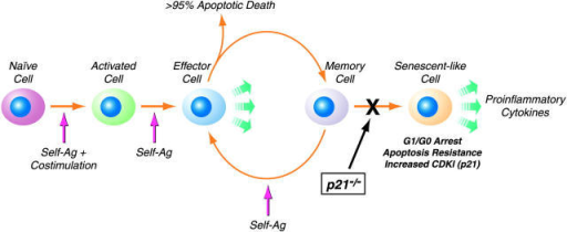 T cell senescence and p21 in systemic autoimmunity. In lupus-prone mice, the accumulated activated/memory CD4+ T cells are in a state resembling replicative senescence. We hypothesize that repeated stimulation of CD4+ T cells (depicted by the hypothetical movement of cells from the memory to effector compartments) by self-antigens (Ag) leads to resistance to proliferation and apoptosis (senescent-like cell), due in large part to increased levels of CDKIs. Senescent cells are metabolically active and can produce proinflammatory cytokines. As shown in this work, the gradual accumulation of these activated/memory phenotype CD4+ T cells and subsequent development of autoimmunity is dependent on p21. Furthermore, our data indicate that the fraction of activated/memory CD4+CD44hi T cells that escape AICD in wild-type autoimmune mice (because of increased CDKIs) do not accumulate in G0/G1-phase in p21-deficient mice; instead, they proliferate and become susceptible to Fas-mediated apoptosis. Thus, the lack of p21 appears to restore homeostasis of autoreactive CD4+CD44hi T cells by preventing their transition to a senescent-like state.