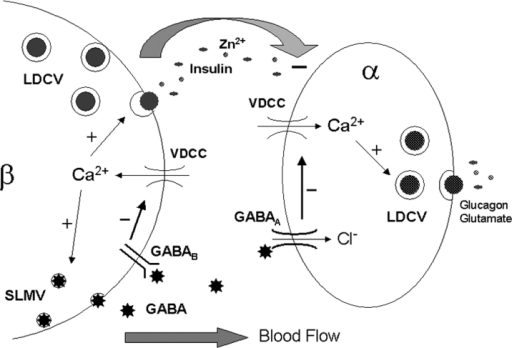 schematic diagram illustrating regulated gaba release f