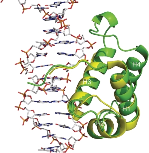 Structural comparison of NgTRF1561–681 and the DNA-binding domain of hTRF1. Proteins are represented by ribbon diagrams. NgTRF1561–681 is colored in green and the DNA-binding domain of hTRF1 is colored in yellow. The helices are numbered in sequence from N- to C-terminal. The X-ray crystal structures of the DNA-binding domain of hTRF1 in complex with telomeric DNA [PDB accession ID: 1W0T, (33)] was used for the structure of hTRF1.