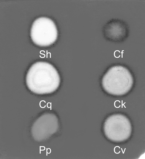 Substrate specificity of hyaluronidases tested on polyacrylamide gel with incorporated chondroitin sulfate.Protein content per 2 µl dot is indicated in brackets. Sh = sheep testicular hyaluronidase (10 µg), Cf = Ctenocephalides felis SGE (20 µg), Cq = Culex quinquefasciatus SGE (0.8 µg), Ck = Culicoides kibunensis BE (20 µg), Pp = Phlebotomus papatasi SGE (0.8 µg), Cv = Chrysops viduatus SGE (0.8 µg).