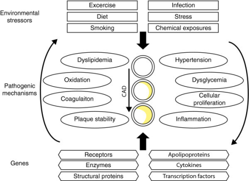 The pathophysiology of coronary artery disease (CAD) is affected by environmental and genetic factors and their interactions. Pathogenic mechanisms contributing to plaque development and subsequent CAD can be affected both negatively and positively by environmental exposures and genes. Environmental exposures can be either discrete (presence or absence) or continuous. Typically, CAD associated mutations and polymorphisms are found in genes encoding proteins that have key roles in intermediate pathways. Neither the environmental nor genetic lists shown here are comprehensive.