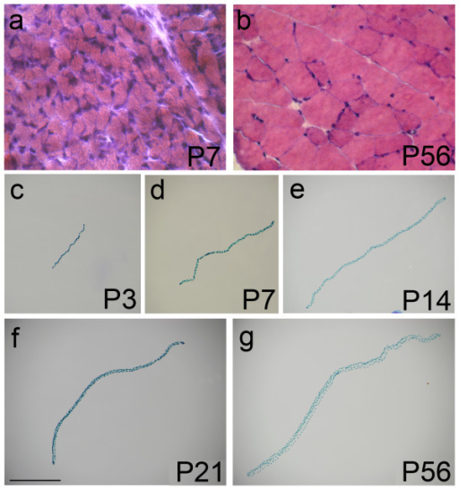 EDL myofibres from growing and adult mice. Entire EDL muscles from P3, P7 (a), P14, P21 and P56 (b) Myf5nlacZ/+ mice were cryosectioned and mid-belly sections stained with haematoxylin and eosin to determine total myofibre content and myofibre cross-sectional area. EDL myofibres were isolated from 3F-nlacZ-E mice at P3 (c), P7 (d), P14 (e), P21 (f) and P56 (g), fixed and incubated in X-gal solution to reveal the β-galactosidase activity of myonuclei by the presence of the blue reaction product. Images of representative myofibres were all taken at the same magnification and show that there is a 4.5-fold increase in length between P3 and adulthood (P56). Myonuclei appear to be uniformly distributed along the length of a myofibre at each age examined (c-g). Scale bar equals 100 μm for (a and b) and 1000 μm for (c-g).