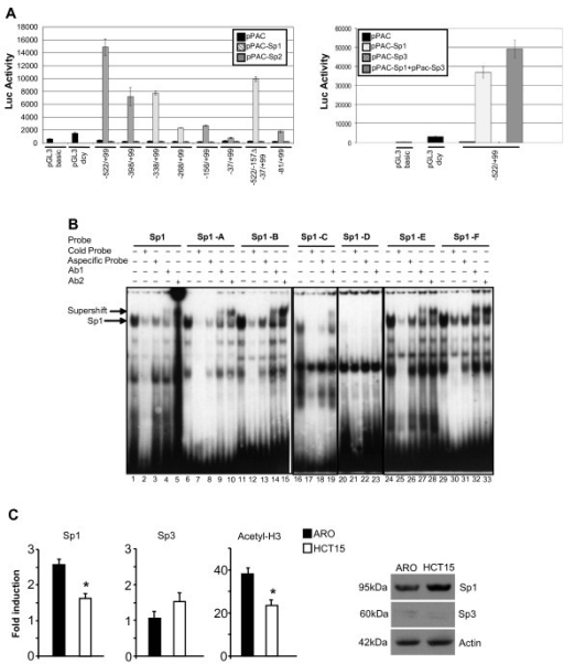 KCTD11 promoter is strongly activated by Sp1 TF. (A) D. Mel-2 cells (Invitrogen) were cultured in Drosophila Serum-Free Medium (Gibco Life Technologies) plus18 mM L-glutamine (Sigma) at room temperature. KCTD11-Luc reporter constructs (1 μg) and pPac-LacZ (200 ng) were co-transfected along with 1 μg of pPac empty vector, pPac-Sp1 or pPac-Sp2 (left panel) or pPac-Sp3 and pPac-Sp1+pPac-Sp3 (right panel) using Cellfectin (Invitrogen). After 48 h, the cells were harvested and the luciferase activity was assayed using the Single Luciferase Assay System (Promega), normalized to β-galactosidase activity using β-Galactosidase Enzyme Assay System (Promega). Each experiment has been done in triplicates. Values are the means ± S.D. (B) EMSAs showing the binding of Sp1 to KCTD11 promoter. Whole extracts were prepared from 293T HEK cells transfected with pCDNA-Sp1 (12 μg), using buffer C [16]. Cell extracts were incubated in vitro with 32P-labeled KCTD11-Sp1 probes (Sp1-A-F) or 32P-labeled canonical Sp1 probe [additional file 2]. Binding specificity was evaluated by competition with an excess (100x) of the cold probe or with a non-specific probe. For the supershift assays, the proteins were pre-incubated with two different anti-Sp1 antibodies (Santa-Cruz) at 4°C for 30 min. (C) ARO (thyroid cancer) and HCT15 (colon cancer) cell line were cultured, respectively, in RPMI-1640 and DMEM supplemented with 10% FCS. Chromatin Immunoprecipitations (ChIP) were performed by using the following antibodies: anti-Sp1 (1C6) X (sc-420; Santa Cruz Biotech), anti-Sp3 (F-7) X (sc-28305; Santa Cruz Biotech), anti-Acetyl-Histone3 (Cell Signaling). Eluted DNA has been analyzed with real-time q-PCR, normalized to GAPDH (left panels). Bars represent the mean of 3 independent experiments ± SD (*, p < 0.05, HCT15 versus ARO). Total protein levels of Sp1 and Sp3 were analyzed by Western blot (right panel).