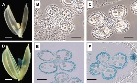 Analysis of OsSUT1 expression in the glumaceous flowers of transgenic plants harbouring a OsSUT1 promoter::GUS construct. (A, D) Whole glumaceous flowers at stage I (A) and stage III (D). Bars indicate 1 mm. (B, C, E, F) Cross-sections of anthers of various developmental stages; (B) earlier than stage I (around 10 DTA), (C) stage I, (E) stage II, (F) stage IV. Bars indicate 0.1 mm. (B) and (C) are phase-contrast images to show the anatomy of the anthers better.