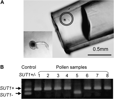 Identification of the genotypes of individual pollen grain. (A) A pollen grain germinated on the agar medium was picked up with a fine pipette tip (marked in the circle). A magnified image of the pollen is lower left. (B) A typical result of genotyping by PCR, showing that seven out of eight pollen grains have wild type OsSUT1 (SUT1+) gene. A PCR product with the DNA template from the leaves of SUT1+/– plant was used as a control.