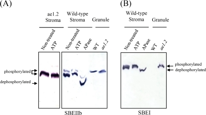 PMC3276085_jexboterr341f09_3c detection of phosphorylated forms of sbes in amyloplast open i