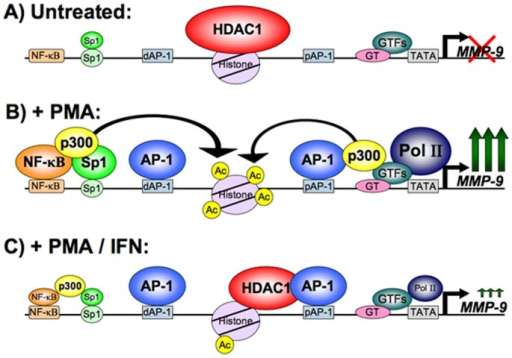 AP-1-mediated recruitment of HDAC1 to MMP-9 promoter in response to IFNβ - a schematic model.Based on our results and some of the previously published work [18], this model indicates what is occurring at the MMP-9 promoter under IFNβ treatment conditions. (A) Under uninduced conditions, there is a basal level of HDAC1 and general transcription factor occupation of the MMP-9 promoter. (B) Upon PMA treatment, recruitment of specific transcription factors NF-κB, AP-1, and Sp1 occurs and MMP-9 transcription is induced. Coactivators are also recruited, such as p300, which results in acetylation of the lysine tails of histones. (C) IFNβ treatment causes HDAC1 to be recruited to the proximal AP-1 site and a corresponding decrease in local acetylation, leading to decreased transcriptional activation of MMP-9. While AP-1 occupation of the MMP-9 promoter is unchanged under IFNβ treatment, NF-κB and other specific activators leave the promoter.